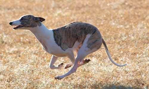 Chippy the whippet running