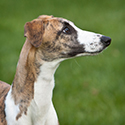 Tiger Lily whippet